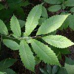 Dunstan Chestnut plant