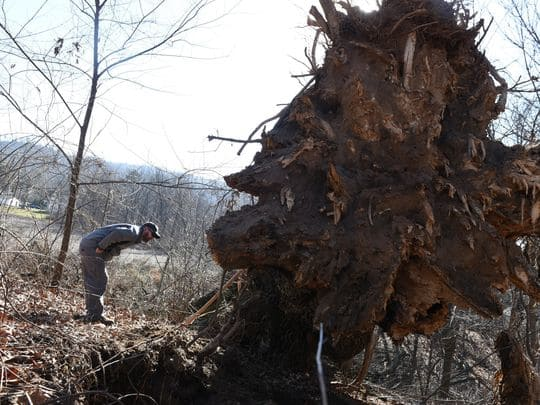 One of Pennsylvania's largest oak trees topples