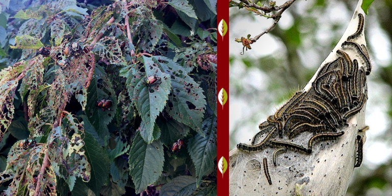 treating and preventing bagworms and japanese beetles