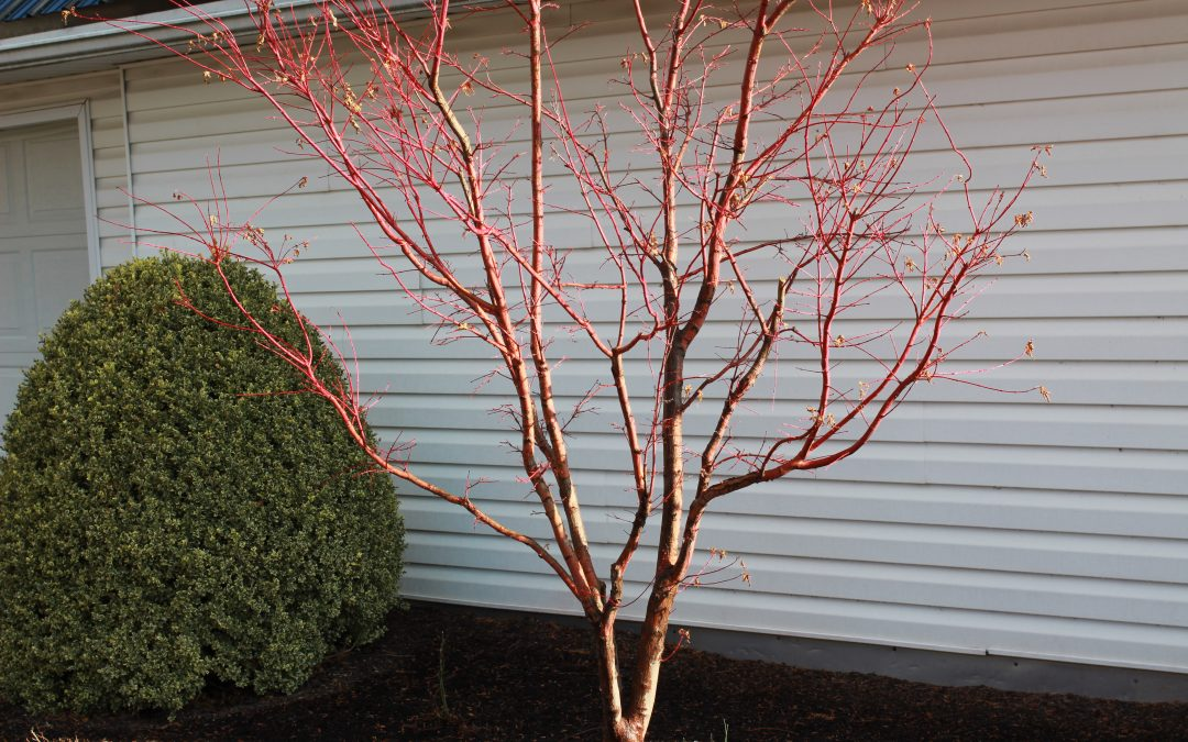 The CVTS-L Landscaping Plant Guide: Sangu Kaku Coral Bark Japanese Maple