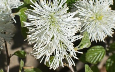 The CVTS-L Landscaping Plant Guide: Mount Airy Fothergilla