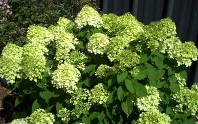 The CVTS-L Landscaping Plant Guide: Little Lime Hydrangea
