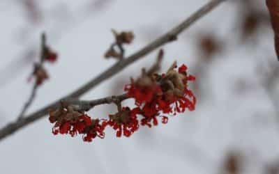 The CVTS-L Landscaping Plant Guide: Witch Hazel
