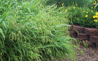 The CVTS-L Landscaping Plant Guide: Northern Sea Oats Grass